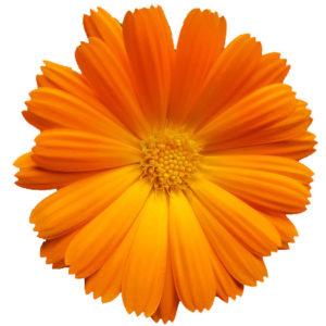 Měsíček lékařský Květina prospěsňá pro pleť