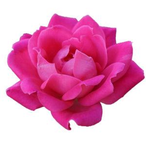 Ruze Kvetina prospěšná pro pleť