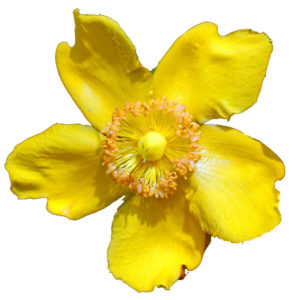 Trezalka Teckovana Květina prospěšná pro pleť